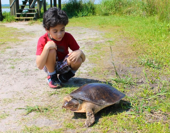 Florida soft shelled turtle at LaChua trail Gainesville