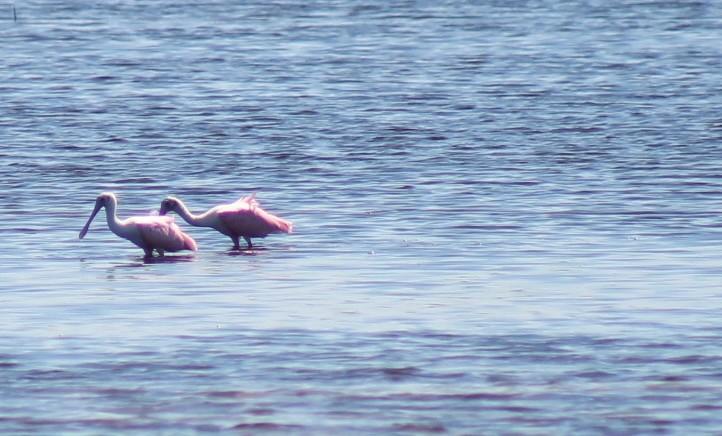 Roseate Spoonbills feeding on mud flats at Ding Darling National Wildlife Refuge