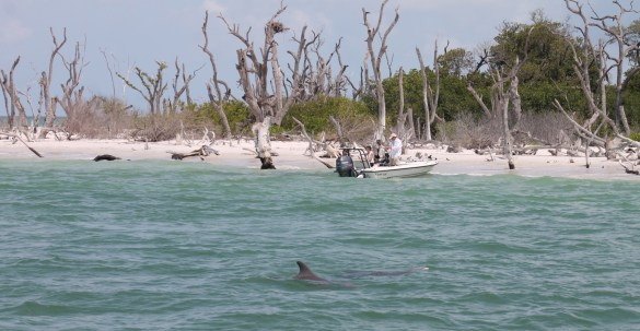 Dolphins off the shore of Cayo Costa.