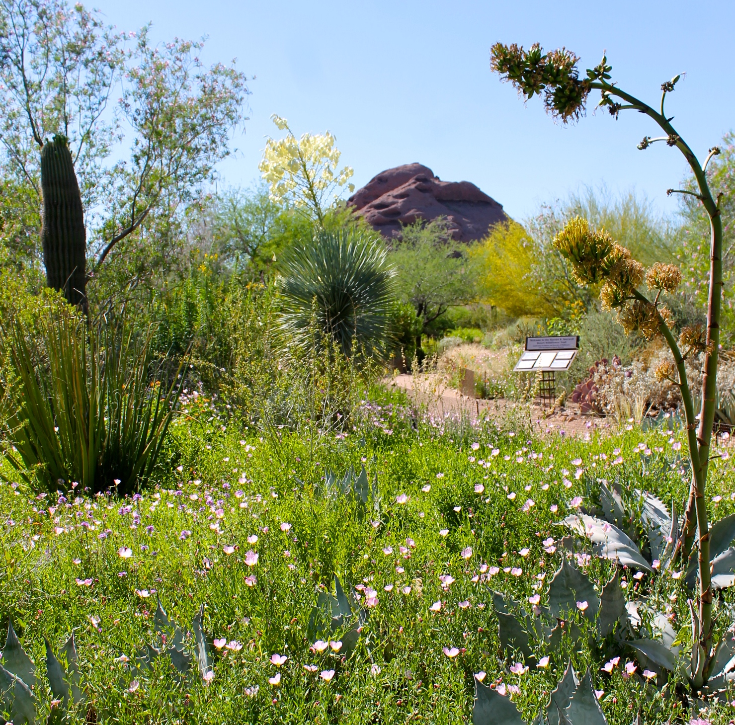 The Desert In Bloom At The Desert Botanical Garden In Phoenix Growing Up Bilingual