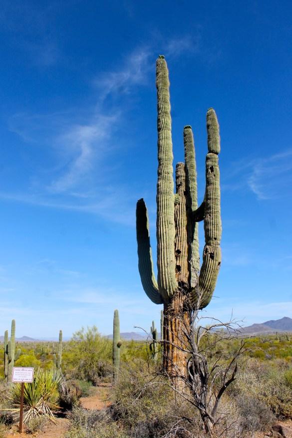 saguaro cactus in the sonora desert