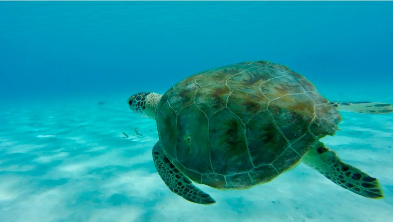 sea turtle in Klein Curacao