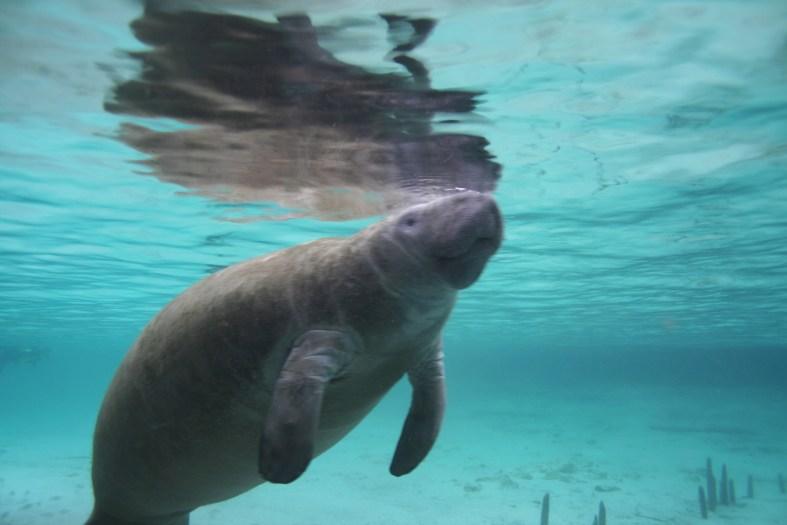 Best manatee snorkeling tour