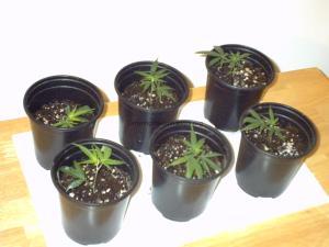 How to make pot plant clones