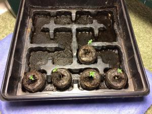 Seeds from Robert Bergman 3 days old