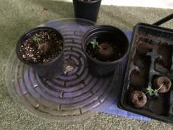 amsterdam seedlings transplanted