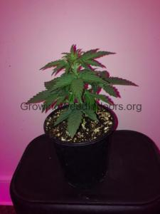 cannabis plant 24 days old
