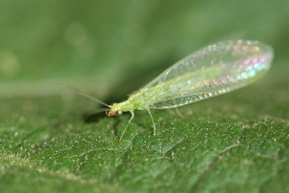 bug of the week lacewing revisited growing with science blog