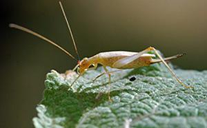 tree cricket female