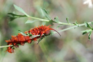 pipevine caterpillar