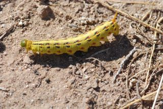 whiteline caterpillar