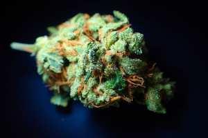 cured Cannabis bud