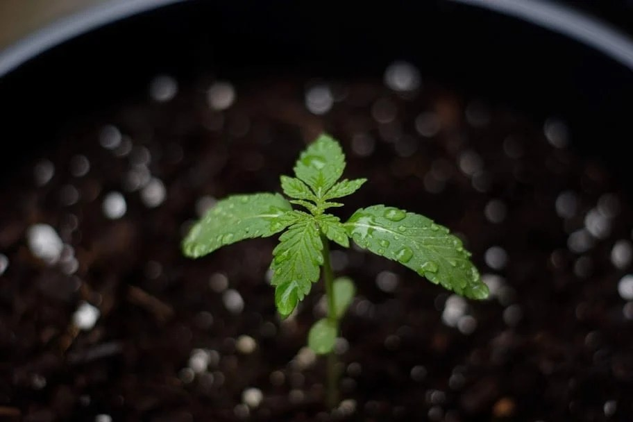 Cannabis seedling first  leaves