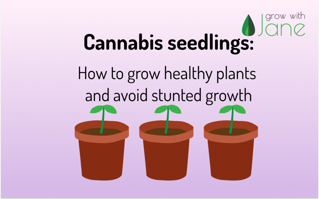 Cannabis seedlings - Grow with Jane