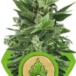 royal-kush-automatic-growmart-semena