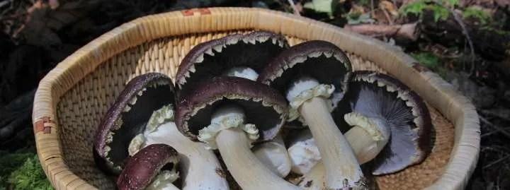 Basket of Wine Cap mushrooms Canada