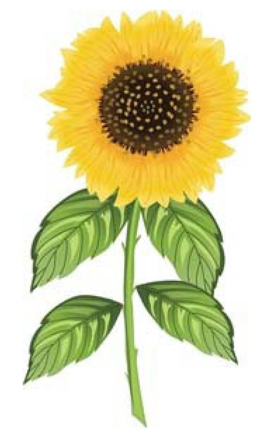 6 Tips to Grow and Harvest Your Sunflower