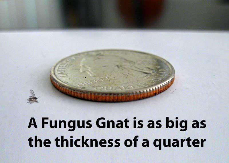 how to kill fungus gnats on plants