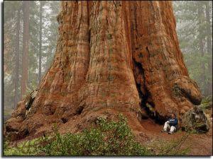 giant-redwoods