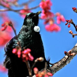 CB-tui-in-cherry-tree-1
