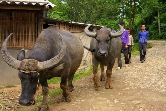 water buffalo, water buffalo vietnam, trekking sapa