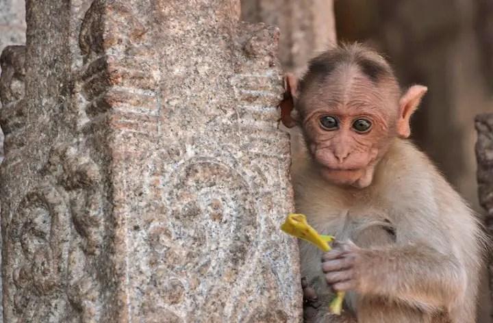 cute monkey india, hanuman temple hampi, monkey temple hampi