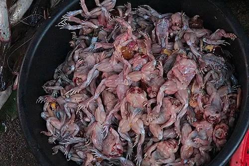 skinned frog in cambodia