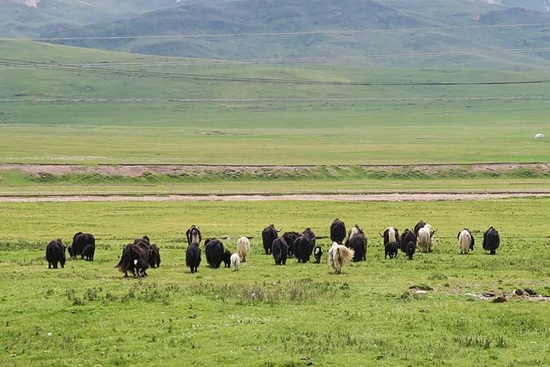 yaks china, yaks qinghai