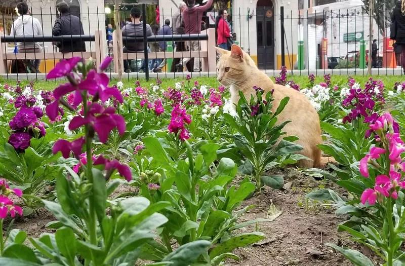 Parque Kennedy's wild cats, Parque Kennedy Lima