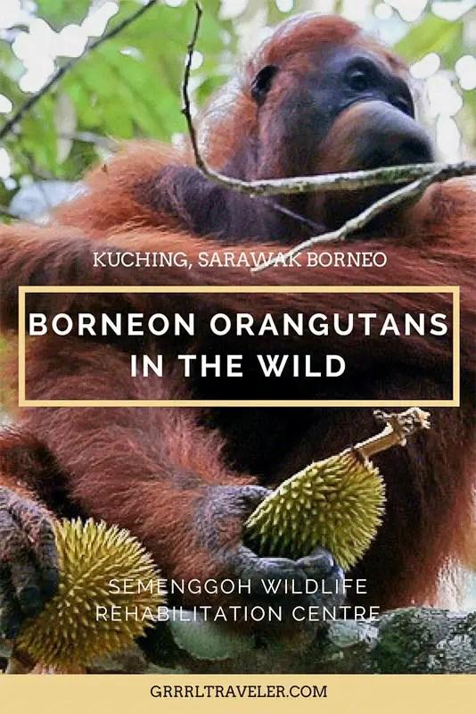 borneon orgutans, Semenggoh wildlife rehabilitation centre, Semenggoh wildlife Reserve, Orangutan feeding, kuching orangutans, borneo orangutans, borneo orangutan reserve