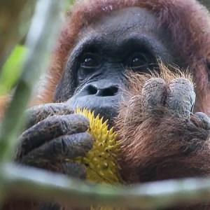Semenggoh wildlife rehabilitation centre, Semenggoh wildlife Reserve, Orangutan feeding, kuching orangutans, borneo orangutans, borneo orangutan reserve
