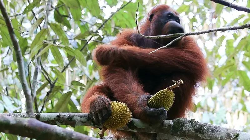 Semenggoh Nature Reserve, Orangutan feeding, kuching orangutans, borneo orangutans, borneo orangutan reserve