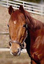 Colonel - Quarter Horse