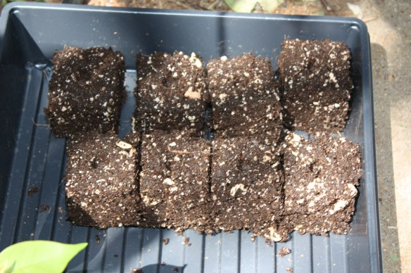 These starting cubes are made with potting mix and a cube press.
