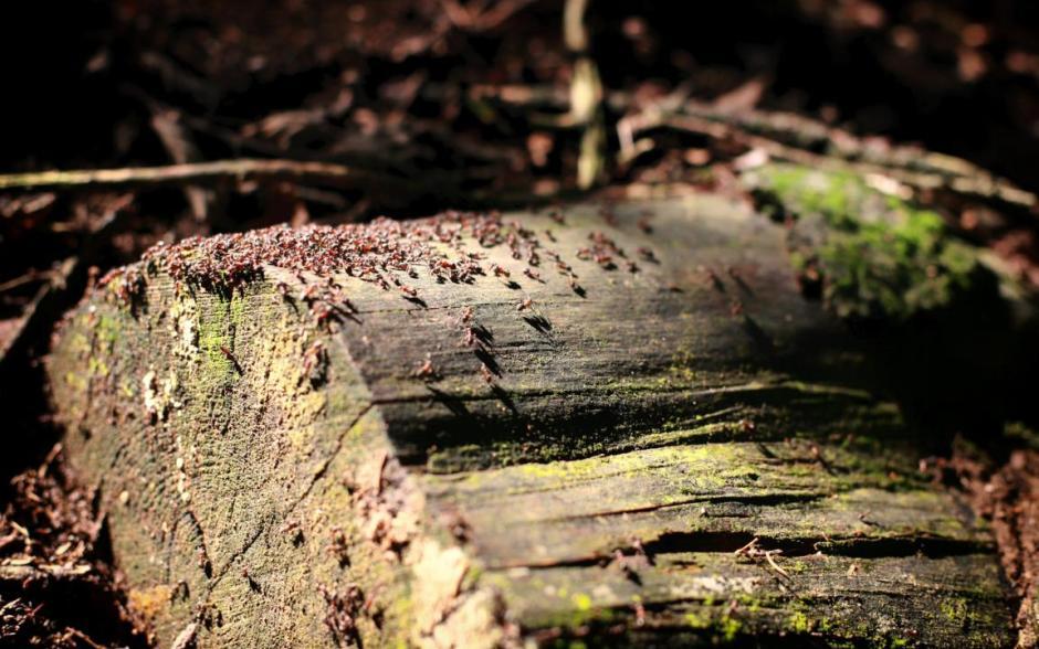 Ameisen auf Holz