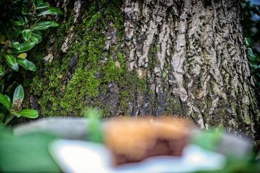Rinde des Walnussbaums © 2015 Foto: Stefanie Schildchen