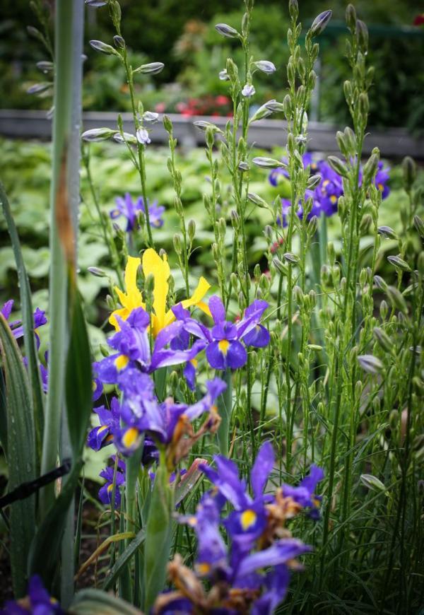 Iris im Kleingarten