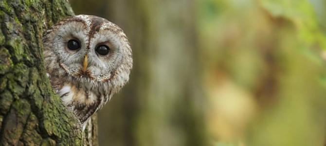 Der Waldkauz – Vogel des Jahres 2017