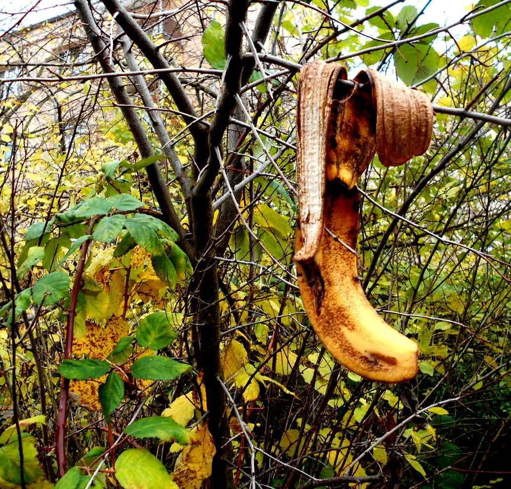 Bananenbaum???