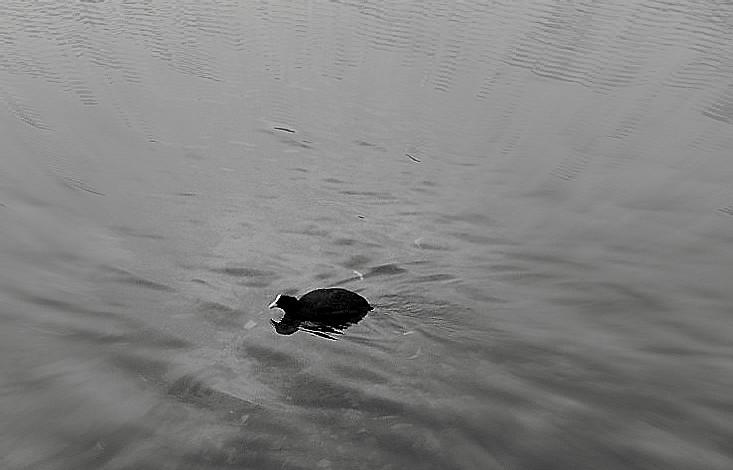 Ente schwarzweiss