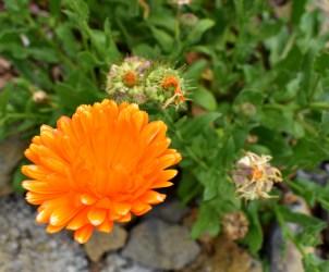 Aster orange
