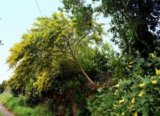 Ginsterbaum gelb