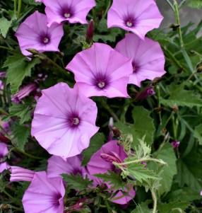 Lila Wickenblüten