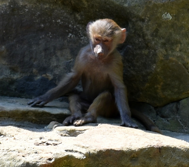 Affennachwuchs