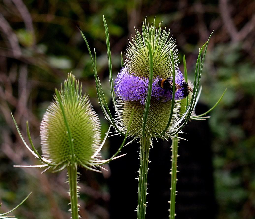 Blüte mit Hummel