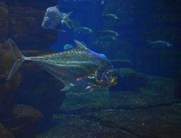 Silberfischchen in groß