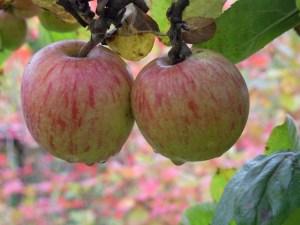 Herbstäpfel2