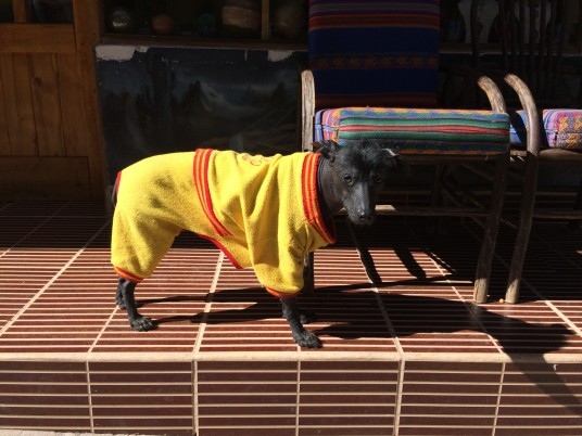 Hairless Peruvian dog - Aguas Calientes