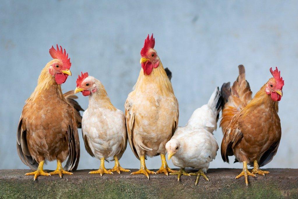 chicken, rooster, hen