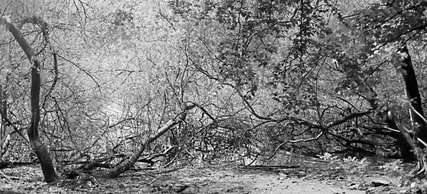 Just about given up the fight; trees in the Washburn Valley (Ilford PanF Plus, OM1, Zuiko 50mm f/1.8)